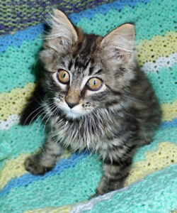 Gorgeous Maine Coon Cross Kittens