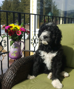 Bernedoodle Puppy for sale