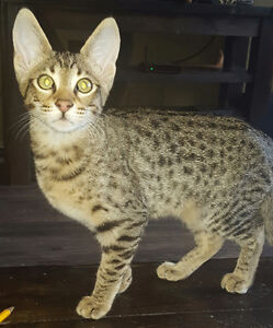 AFRICAN SERVAL HYBRYDS F4SBT  F5 and f6  ( SAVANNAH KITTENS )
