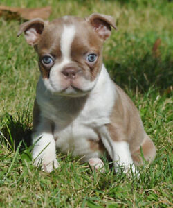 Boston Terrier Beauties Looking For Love!