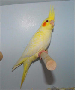 Lutino male cockatiel verry gentle does not bite  160 only