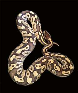 Downsizing Ball Python collection