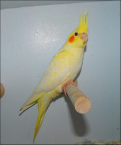 Male cockatiel Lutino pearl with a cage fully equiped 2-3 y-o