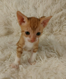 Chatons Rex Cornish/ 2 vaccins/ Steriliser etc.