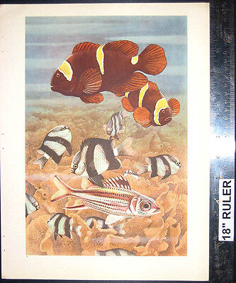 Sea Perch   Damselfish Spine Cheek Anemonefish   1945 Coral Reef Diver Art Print