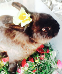 Chocolate coloured male rabbit for  rehoming