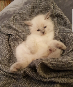 Ragdoll kittens with mittens