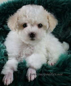 Pure Bred CKC Registered Toy Poodles.