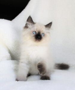 Fluffy Ragdoll kittens are ready for their new homes..