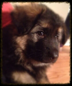 EXCEPTIONAL QUALITY GERMAN SHEPHERD PUPPIES EURO LINES CKC REG.