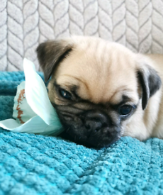 KC reg Pug Puppies *READY TO LEAVE*
