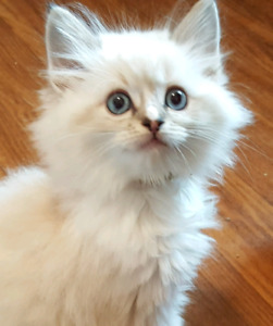 Ragdoll Kittens Seal Blue and Lilac TICA breeder