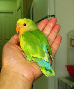 handfed lovebird baby BOY (pied orangefaced green)==ON HOLD