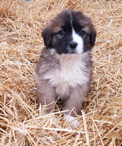 Only 3 Adorable female puppies left