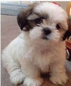 Wanted a small breed puppy.