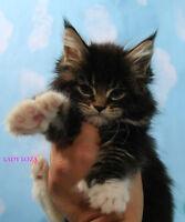 Wild look & Gentle personalities Maine coon Kittens!Registered!