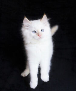 FLAME POINT RAGDOLL KITTENS ARE AVAILABLE FOR ADOPTION
