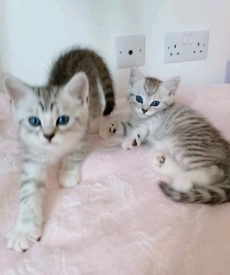 Exotic Lilac Grey & White Kittens