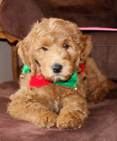 Beautiful Medium Goldendoodle Puppy for Sale