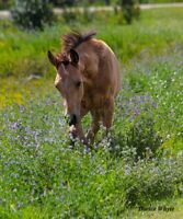 Beautiful Athletic Buckskin Anglo Arab colt for sale