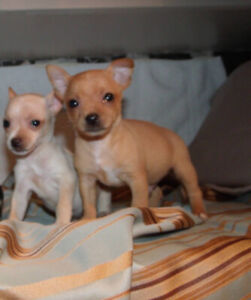 Chihuahua puppies ready now!
