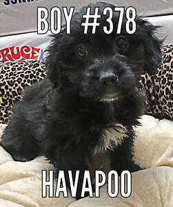 Havapoos (havanese x poodle) Puppies!