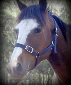 DUKE: QUIET TO DO EVERYTHING WITH & RIDE, GORGEOUS 14.2hh GELDING Oakville Hawkesbury Area Preview
