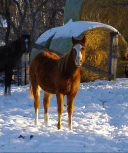Paint/Quarterhorse yearling Filly