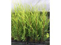 wanted Leylandii Hedge bushes