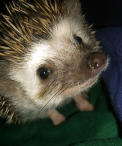 Looking to trade hedgehog for rabbit