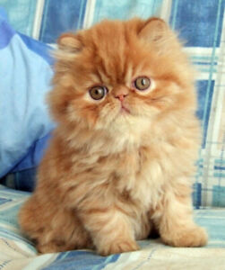 Pure persian orange male not fixed,  1 year,  280.00