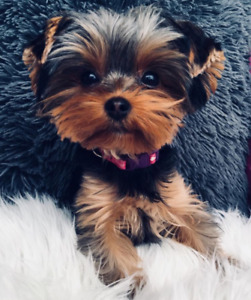 Pure beautiful Yorkshire Yorkie puppies