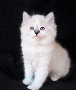 LOVELY RAGDOLL KITTENS ARE AVAILABLE FOR ADOPTION