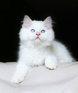 Persian/ Himalayan kittens are available for adoption