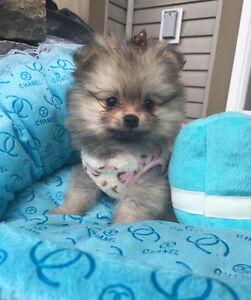 Pomeranian Puppies  True Toy ~ True Teacup