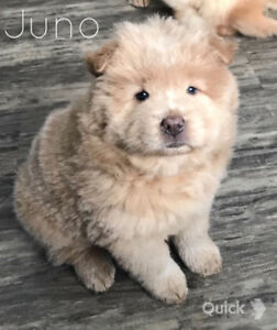 chow chow puppies for sale