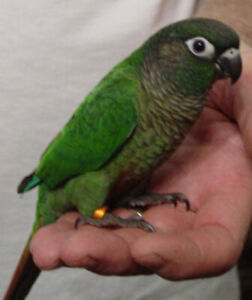 baby green cheek conure parrot friendly handfed on sale now
