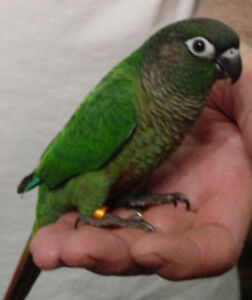 baby green cheek conure parrot friendly handfed free mediumcage