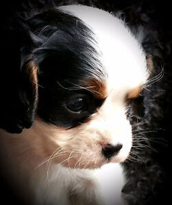 Adorable Cavalier King Charles Spanial
