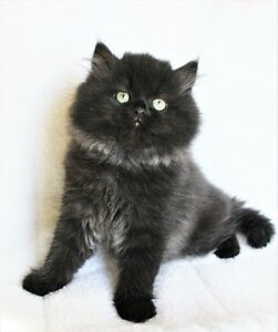 Persian kittens are available for adoption