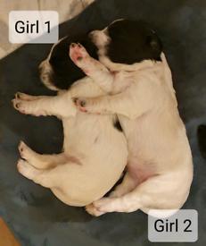 2 Sprocker Girl Pups