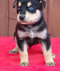 Rottwieler and Husky Cross Puppies (blue eyes)