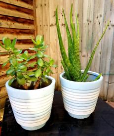 Plant set Money Plant & Aloe Vera plant
