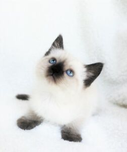 Ragdoll / Siamese  kittens are available for adoption