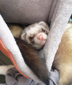 Baby Ferret Kits for reservation/sale.