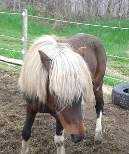 Etalon poney paint saillie