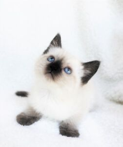 Ragdoll Siamese kittens are ready for their new homes.