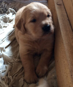Male Golden Retriever Puppies Available