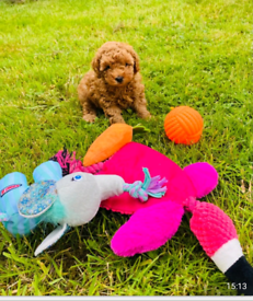 Stunning solid red toy poodle boy