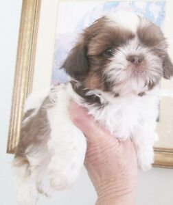 "CKC Registered Shih Tzu "" Male"""